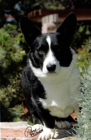 black and white cardigan welsh corgi ( the kind with tails.)
