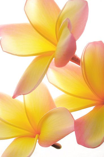 pink  yellow flowers