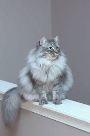 Fluffy cat breeds are some of the most popular, furry cats can be found in white, black, grey and even Siamese coloring. #fluffycatsbreeds