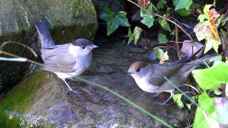 Blackcap (Sylvia atricapilla) A pair at a bathing spot.