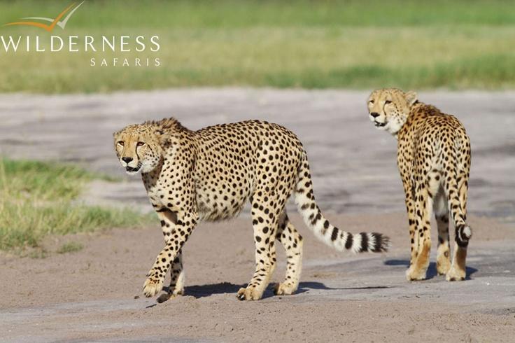 Vumbura Plains - Vumbura has such a diversity of habitats, including some open areas which are perfect for cheetah! #Safari #Africa #Botswana #WildernessSafaris