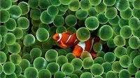 Peixe Palhaço: Iphone Wallpapers, Clowns Fish, Pez Payaso, Undersea, Desktop Wallpapers, Ocean Life, Anemones Fish, Finding Nemo, Under Sea