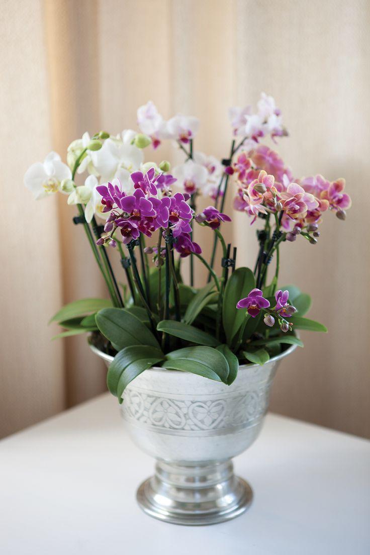 Mini orkideer i champagnekjøler