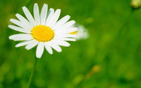 Conoce remedios con manzanilla para acné, ojos, digestión, dolores menstruales, ansiedad y más