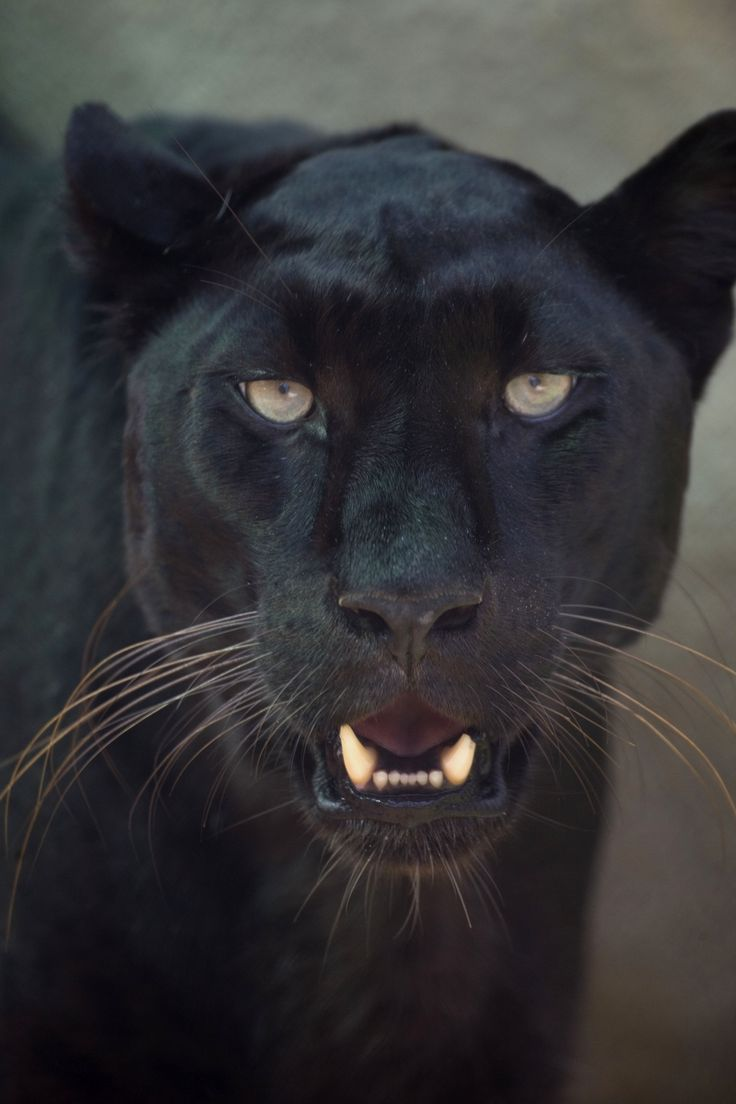 nz-black-leopard-face-2.jpg (2912×4368) | jaguar painting ... Panther Face