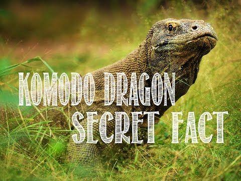 Komodo Dragon Secret Fact