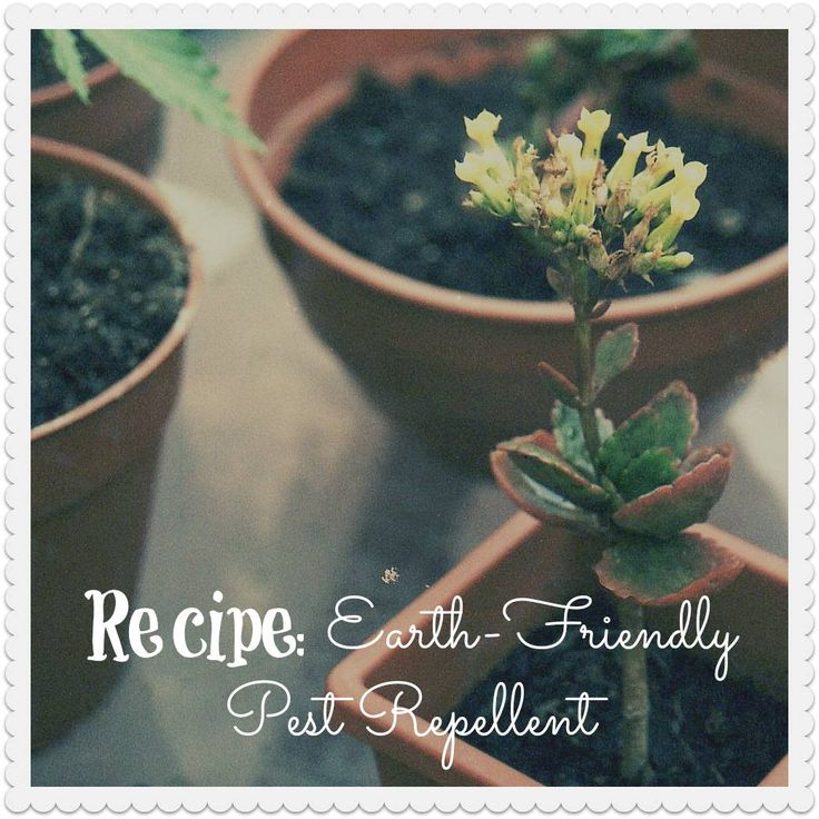Are pests plaguing your garden efforts? No need for harsh insecticides! Instead, give this completely earth-friendly repellent recipe a spray on your garden plants; it will keep the bugs, bunnies and deer away without the chemicals!