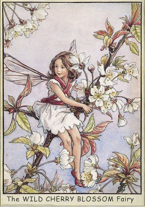 Illustration for the Wild Cherry Blossom Fairy from Flower Fairies of the Trees. A girl fairy sits amongst cherry blossom with her arms around the tree bough.  										   																										Author / Illustrator  								Cicely Mary Barker