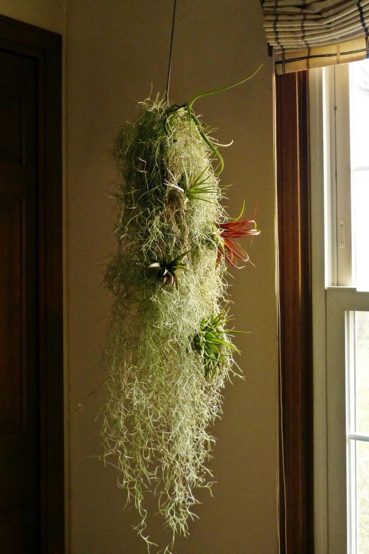 Spanish moss for crafts - Despite Its Name Spanish Moss Tillandsia Usneoidesand Is Actually A Rootless Bromeliad That