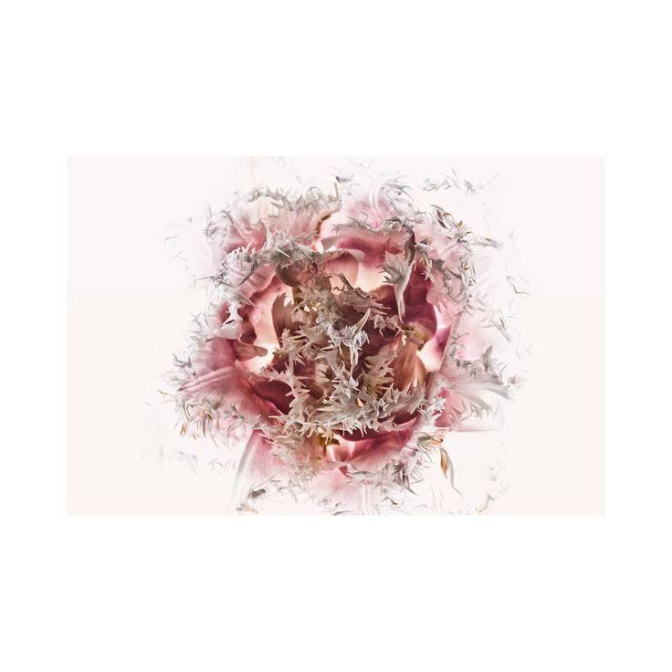 Fringed tulip #flower #florography #winter #wedding #bouquet #sydney #flowerlove #lightbox #messybeauty