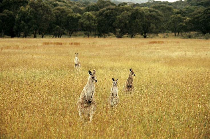 Kangaroos at Tom Groggins, Kosciuszko National Park