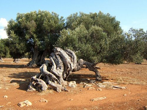 the gracefully twisted nature a centuries old Olive tree in #Salento #Puglia