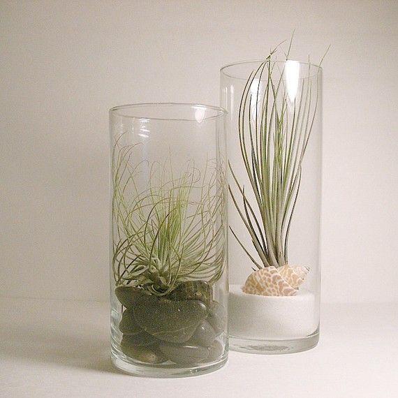 17 best images about tillandsia on pinterest gardens for Air vase
