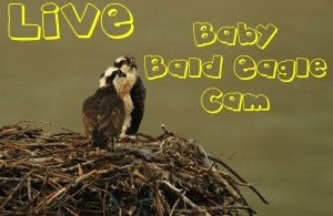 Baby Bald Eagles LIVE
