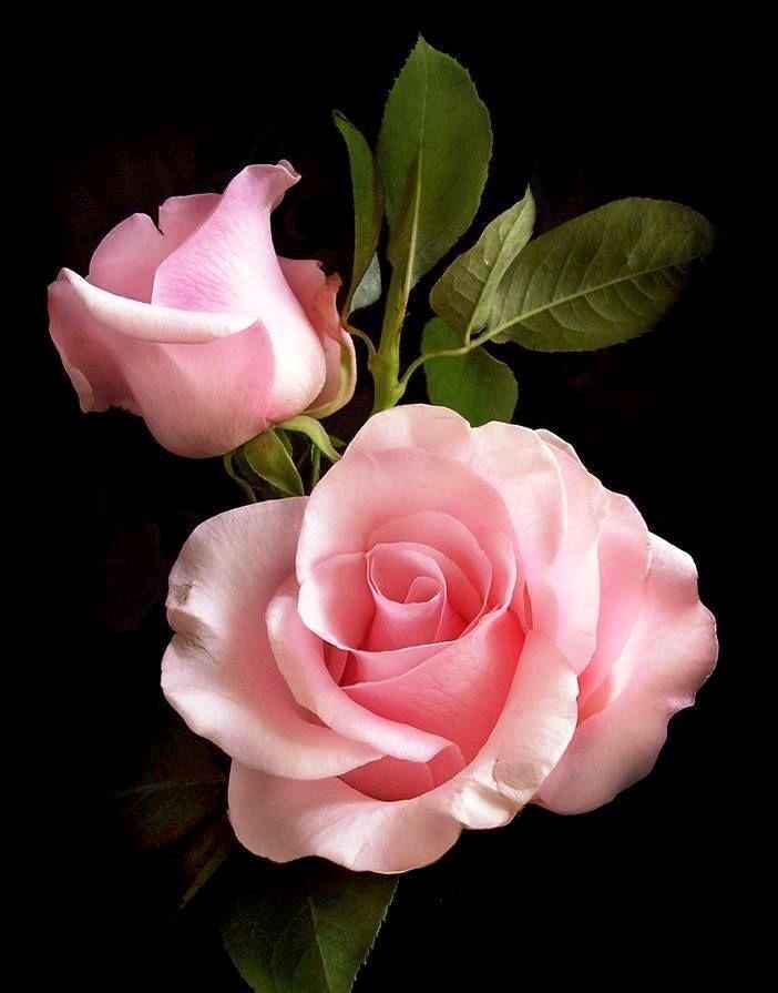 20 Wunderschönes Rosenbild zum Inspirieren – Diy Für Alles