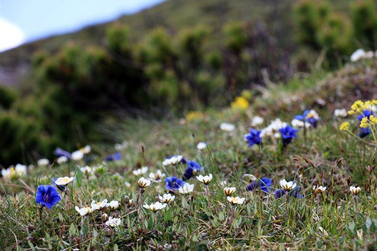Mountain flowers