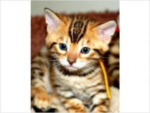 kittens for adoption in michigan   Cute male And Female Bengal kitten For Free Adoption