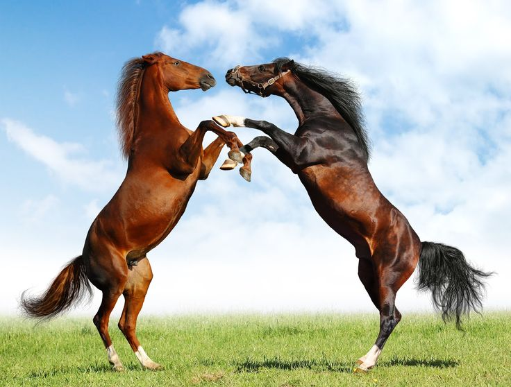 Pelea de caballos: Animal Pics, Hors Wallpapers, Animal Lovers, Equestrian Things, Beautiful Hors, Bing Image, Majestic Hors, Hors Plays, Hors Fight