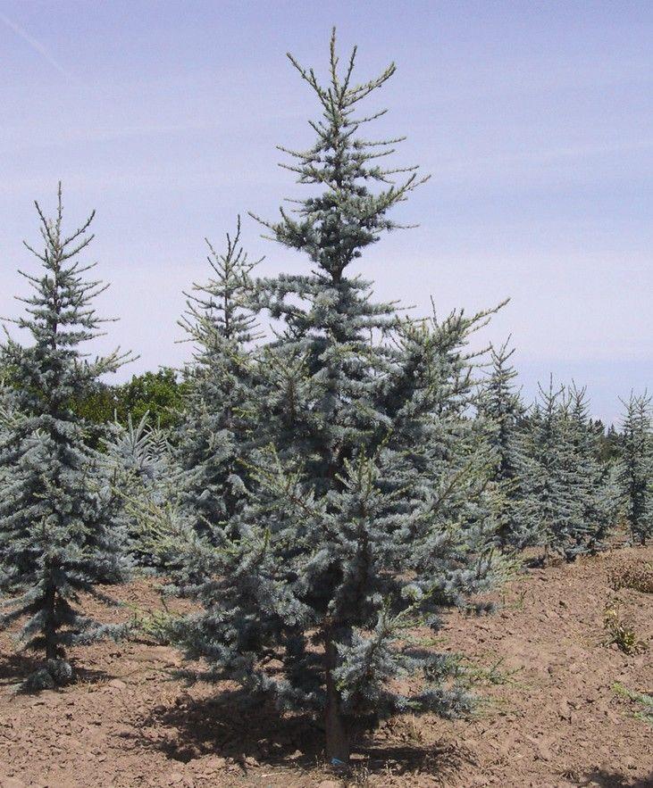 California Christmas Tree Cedrus Deodara: Columnar Blue Atlas Cedar- My Next Tree!