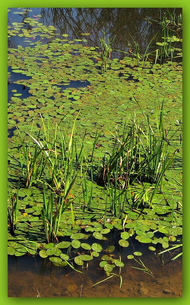 Pond at Lindley Valley Regional Park, Nanaimo   Photo by Robin Bodnaruk