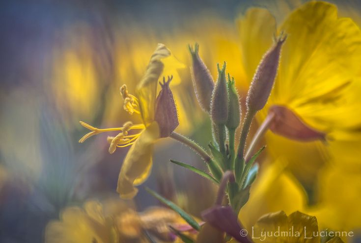 Transparent refrain. Прозорий приспів.  #originalcontent #refrain #flower #bright #yellow #juicy #macro #flower #stamen #pollen #petals #wild #autumn #field #light #shadow #nikon