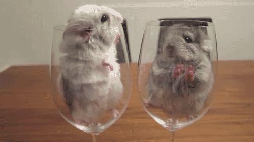 chinchillas in glasses