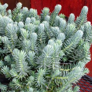 Garden Crossings Online Garden Center Offers A Large Selection Of Stonecrop  Plants. Shop Our Online Perennial Catalog Today.