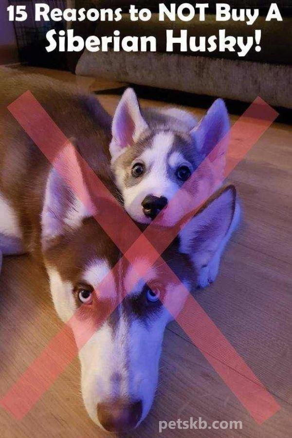15 Reasons To Not Buy A Siberian Husky Siberian Husky Funny