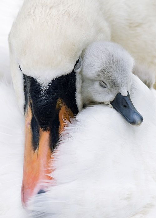 Time for a nap with mom. There's a family of swans on our lake and the baby is nearing teen age, and the mom is still as loving as if he were a baby. It's very tender to see.