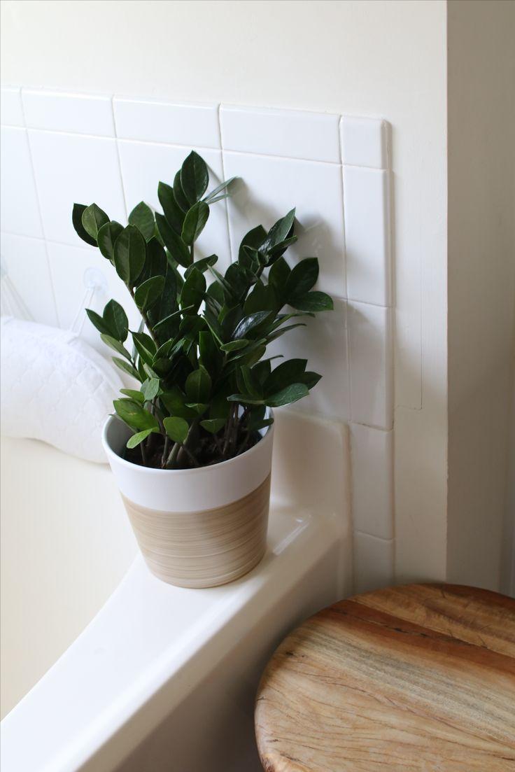 Zz Plant Propagation Houseplant