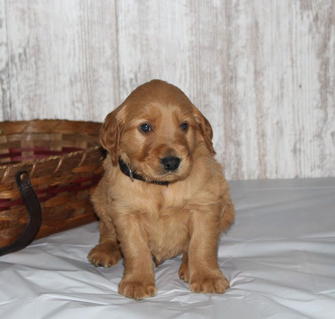 Coty A Male Apri Golden Irish Puppy In Shipshewana Indiana