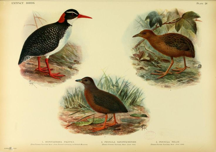 2845. Tahiti Rail (Gallirallus pacificus)   an extinct species of rail that lived on Tahiti   It was first recorded during James Cook's second voyage around the world (1772–1775), on which it was illustrated by Georg Forster and described by Johann Reinhold Forster   No specimens have been preserved.