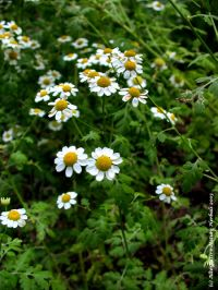 Feverfew, a prolific plant with dainty daisy-like flowers, proven to be beneficial in preventing migraines.