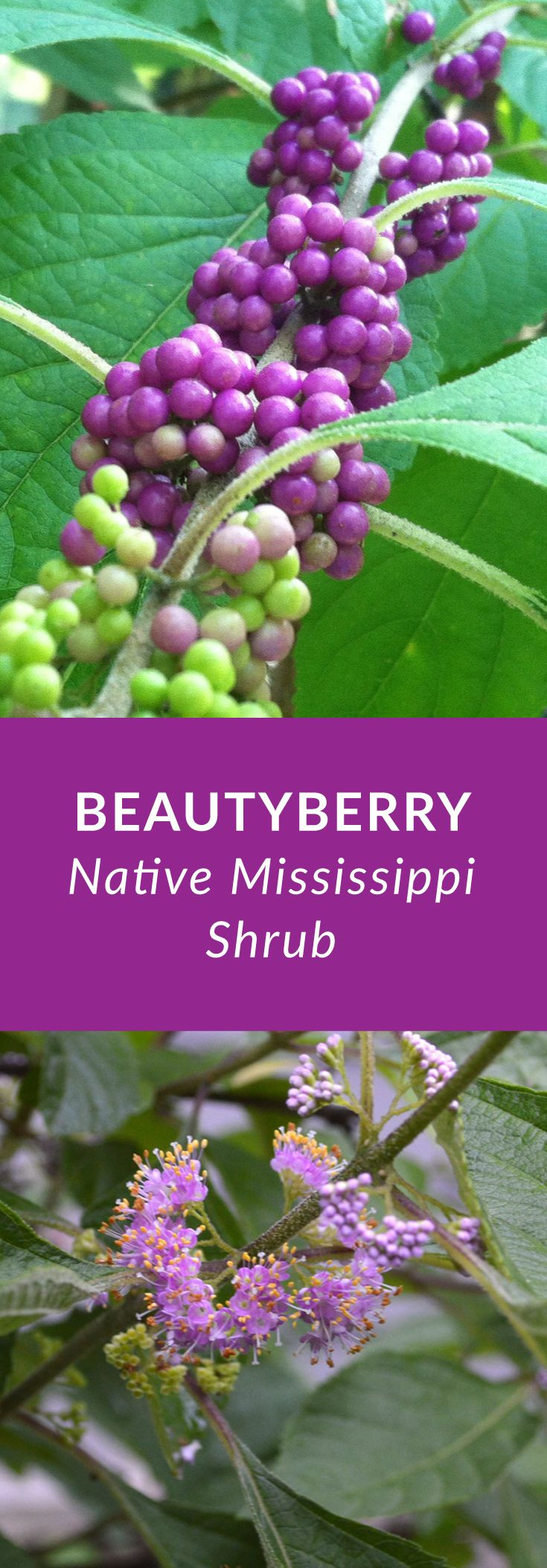 Beautyberry is a Mississippi perennial native shrub with small lavender flowers in summer & bright purple berries in late summer and fall.  via @tarawildlife