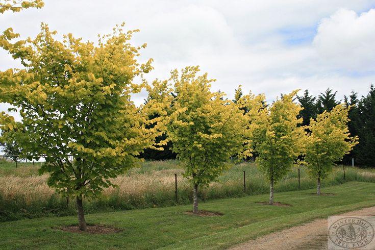 A spectacular driveway, Golden Elm 200L, 1000L. Winterhill Tree Farm.