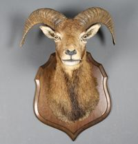 A stuffed and mounted goats head  SOLD FOR £160