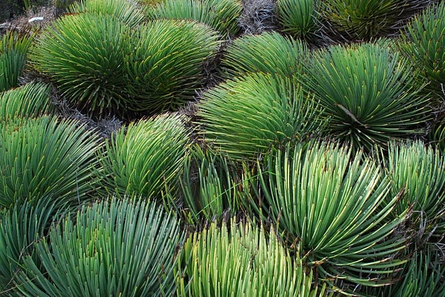 Agave vilmoriniana -' Octopus Agave  Great texture and shades of green