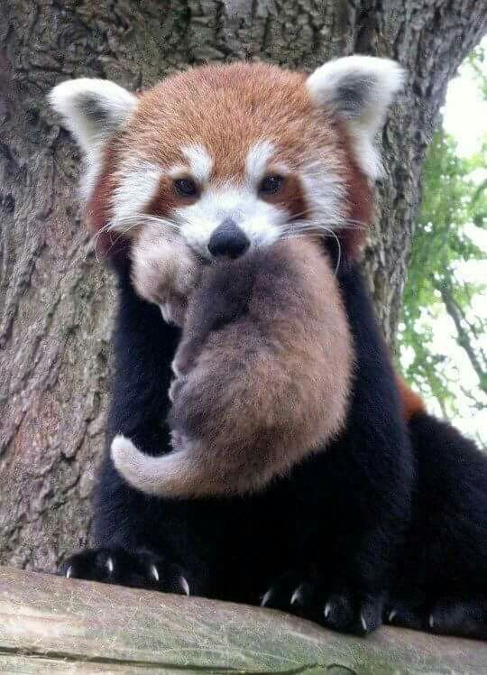 Red Panda holding her baby in her mouth
