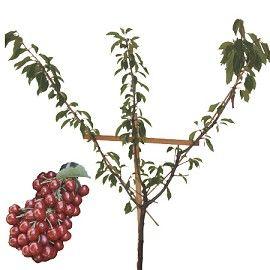 Cerisier 'Bigarreau Burlat' : taille en palmette oblique - Plantes et Jardins