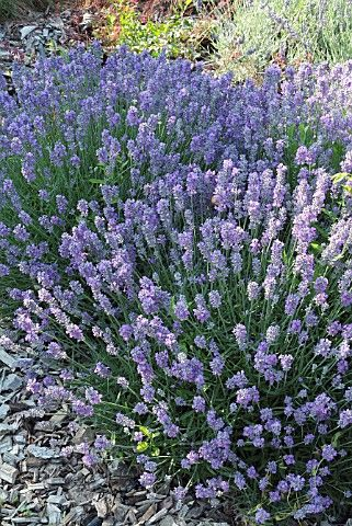 LAVANDULA ANGUSTIFOLIA 'LITTLE LADY' (LAVENDER)