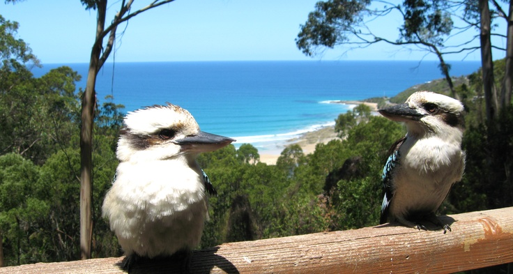 Kookaburras - Rose Cottage - Wye River - Great Ocean Road