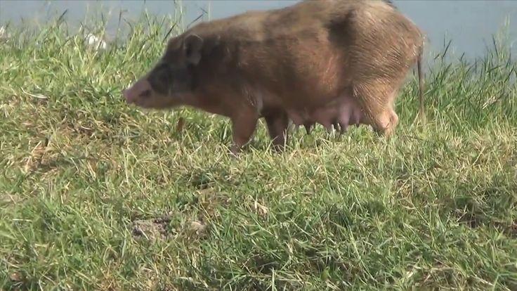 Die Ratten, die Schweine und andere Tiere neben den schönen Palästen Ind...