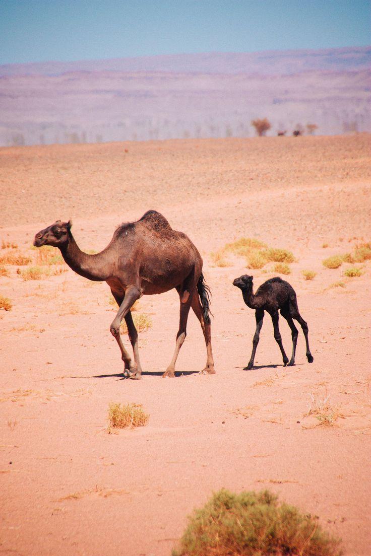 Newborn baby camel - free camels in the Sahara desert - nomad camels