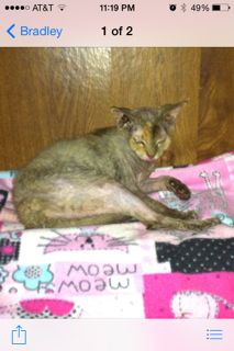 Found Cat - Sphynx in OXFORD, CT   	  Pet Name:	Unknown   (ID# 13227) Gender:	Female Breed:	Sphynx Color:	Golden/Blond Pet Size:	Medium Pet Age:	unknown Date Found:	10/18/2014 Zip Code:	06478 (OXFORD, CT) See All Found Cats In OXFORD, CT