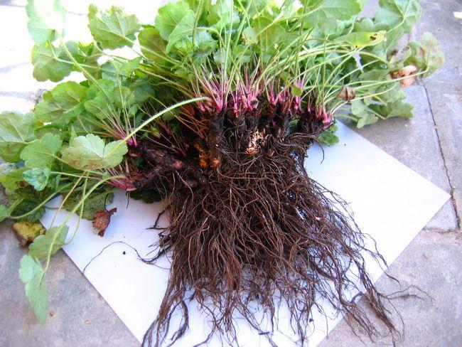 Гейхера: посадка и уход, фото сортов, как выращивать из семян