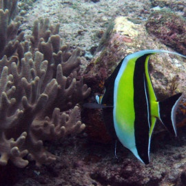 Diving Holidays on Bangka Island, Indonesia - See amazing colored fish