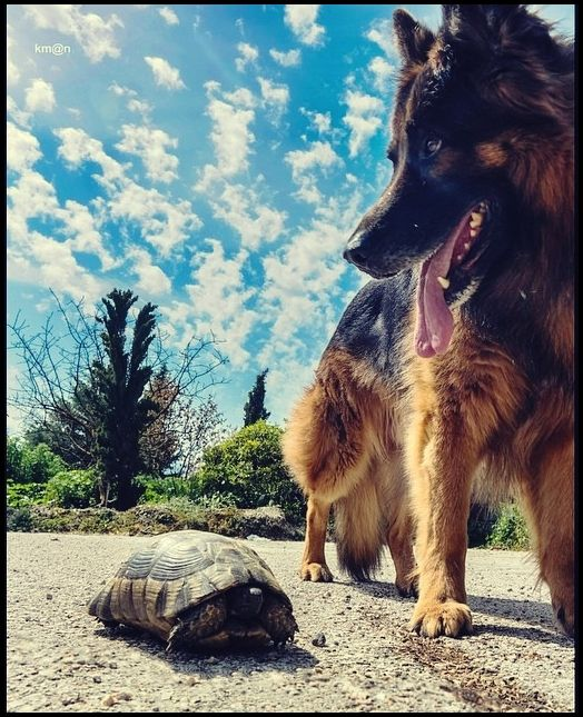 Alsos Siggrou#dog#turtle