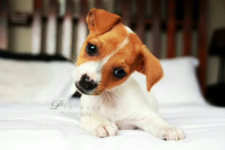 My mom took this pic of our adorable playfull puppy#miniture jackrussel♡♡so cute