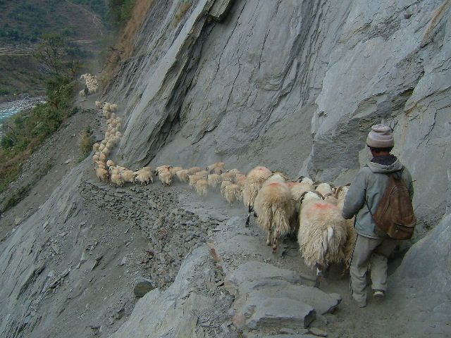 A Shepard moving his flock of sheep across a mountain range in Nepal.
