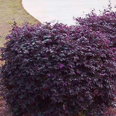 Burgundy Loropetalum Low Growing Shrubs Garden Shrubs